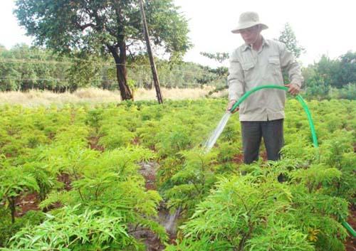 Thanh Hóa: Trồng thâm canh cây đinh lăng